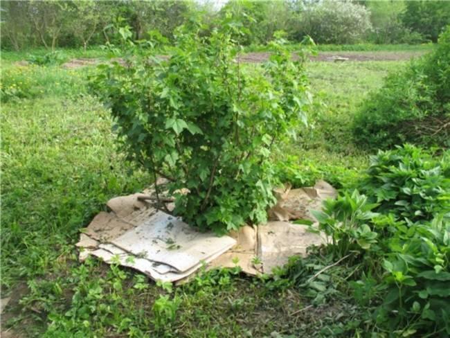 Огородить кусты смородины красиво