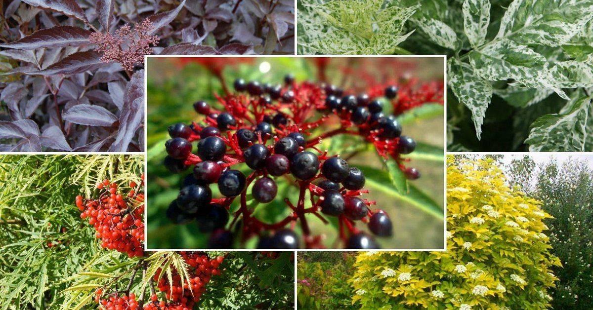 Бузина: фото, виды, выращивание и уход, размножение черенками, советы садоводов