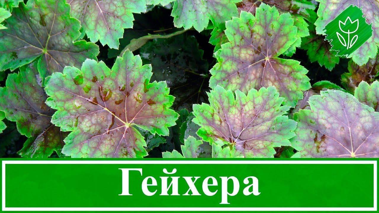 Цветы гейхера: посадка и уход в открытом грунте, размножение делением