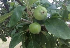 Эффективные методы борьбы с тлёй на яблонях