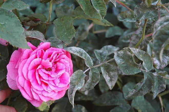 Как распознать мучнистую росу на розах и помочь растению?