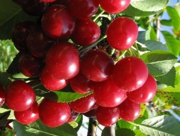 Как выбрать лучший самоплодный сорт черешни и вишни для подмосковья