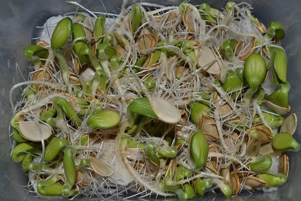Как быстро прорастают семена тыквы. проращивание, посадка семян тыквы и уход за рассадой