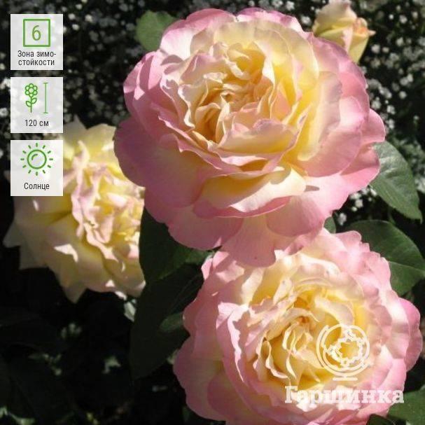 Чайно-гибридный сорт роз глория дей: как посадить, что делать, если не цветет