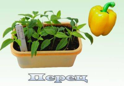 Как ускорить рост рассады помидор