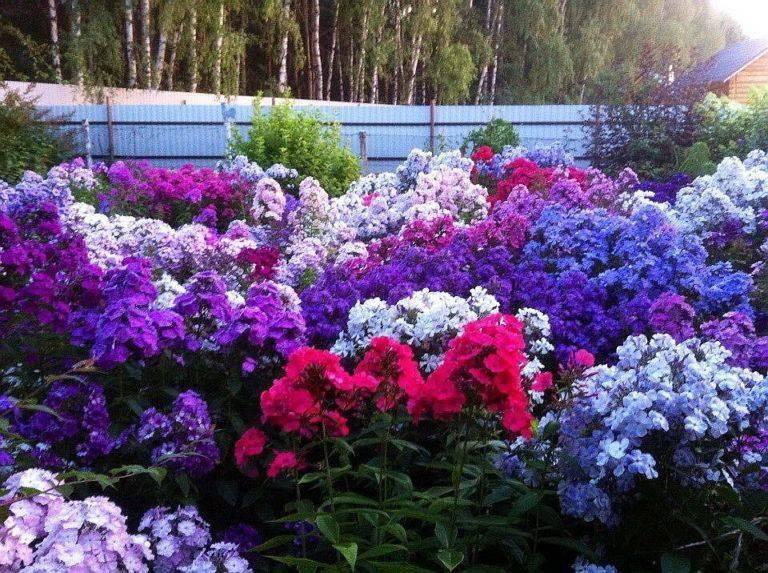 Подкормка флоксов - чем удобрять растение перед и во время цветения