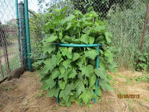 Уход за смородиной весной после зимы: советы садоводам