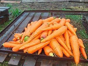 Что посадить после картофеля на следующий год и с чем совместить посадки