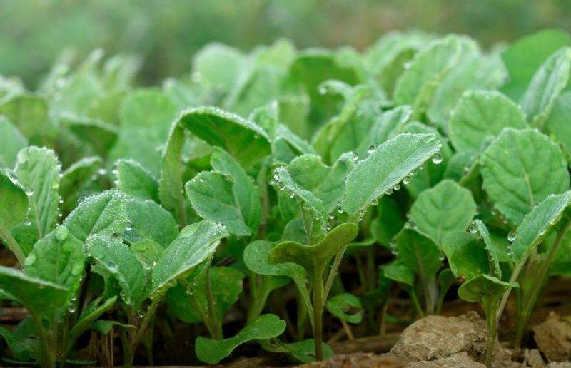 Выращивание капусты: простые хитрости большого урожая