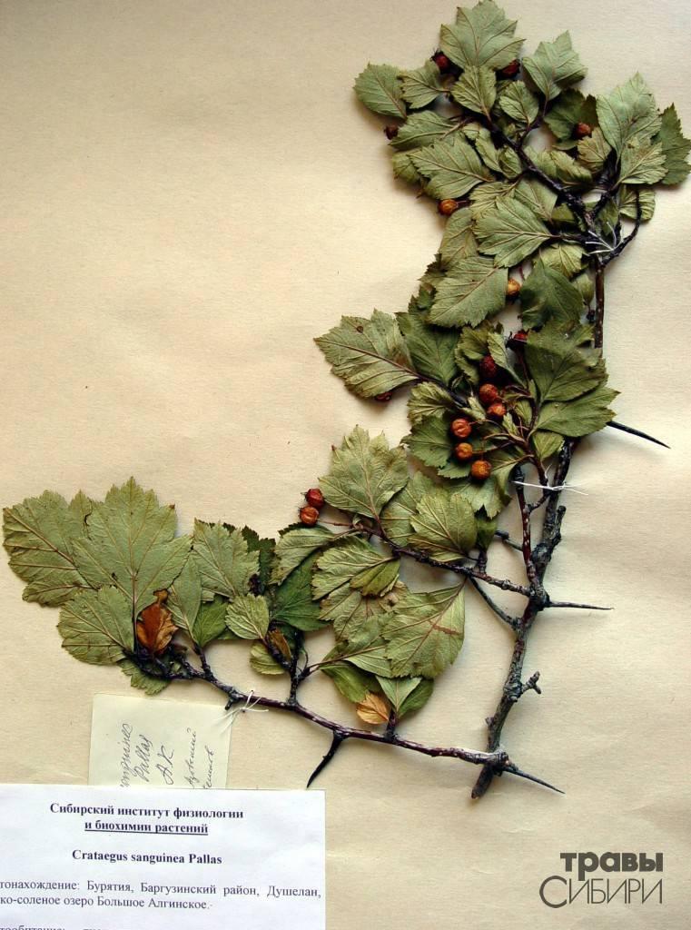 Боярышник кроваво-красный — уникальное целебное растение