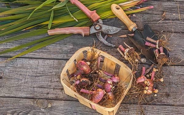 Выращиваем гладиолусы — эффектное украшение клумбы