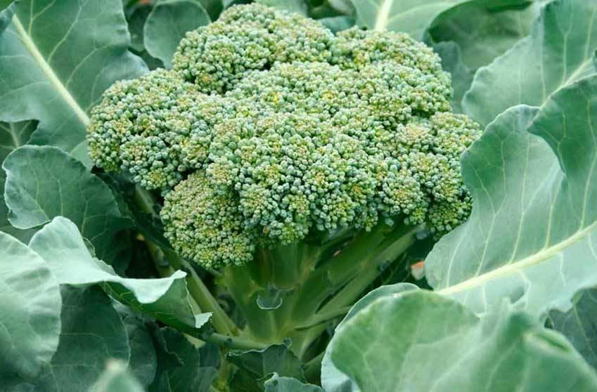 О выращивании капусты брокколи из семян и рассады в домашних условиях, на даче