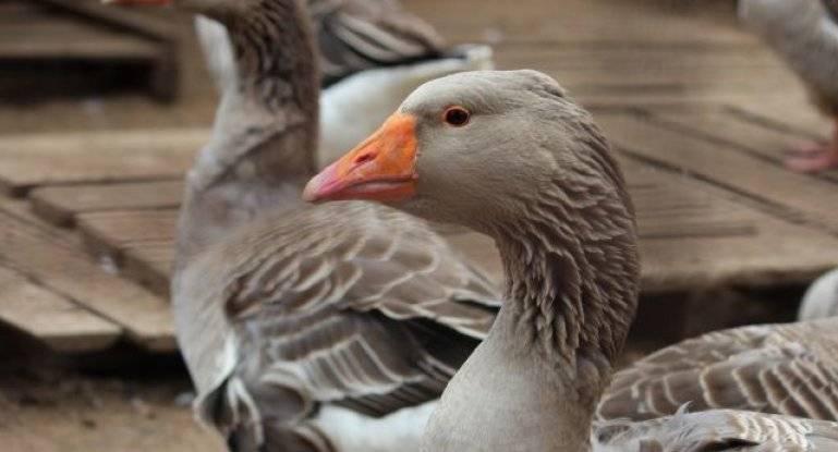Серые гуси (27 фото): описание породы, особенности размножения крупных гусей, характеристика больших уральских, украинских и тамбовских гусей
