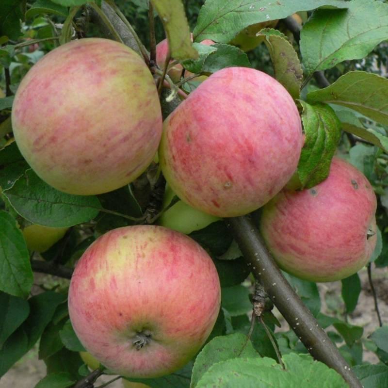 Преимущества и недостатки яблонь сорта ананас, отзывы садоводов, характеристика и описание плодов