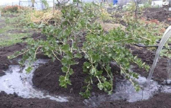 Крыжовник - выращивание и уход весной