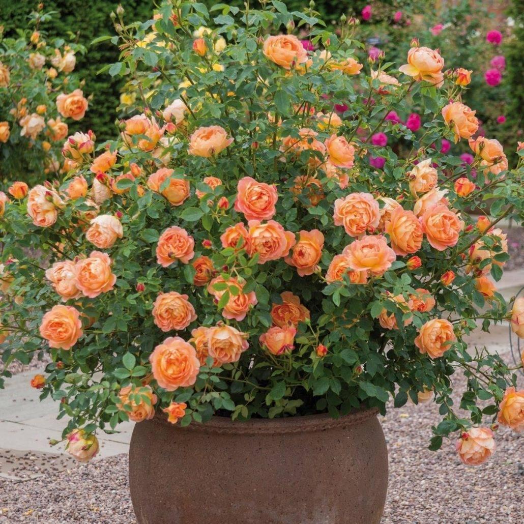 Описание английской кустовой розы сорта леди оф шалот: выращивание в парках