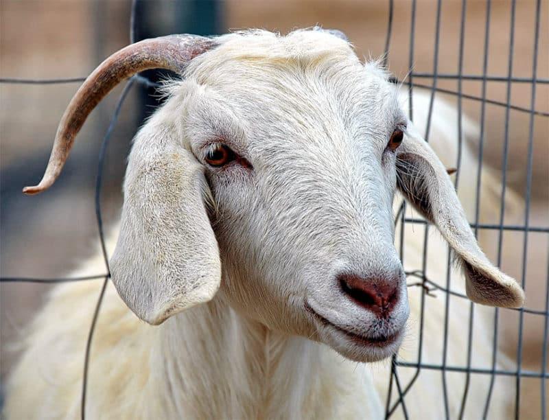 Инфекционные и неинфекционные болезни коз и их симптомы - общая информация - 2020