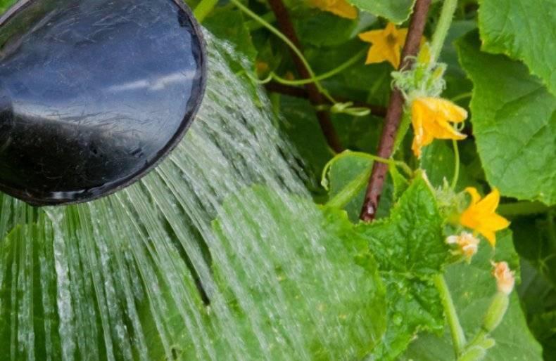 Пустоцвет на огурцах – что делать?
