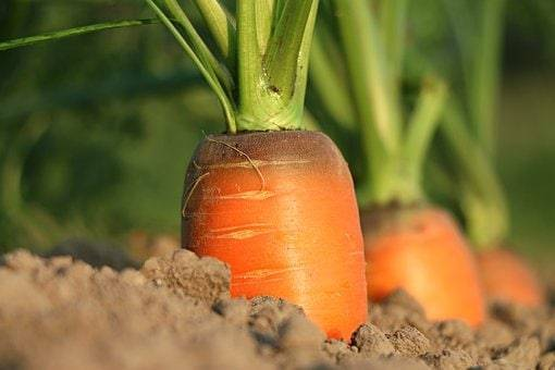 Как правильно сажать морковь семенами в открытом грунте