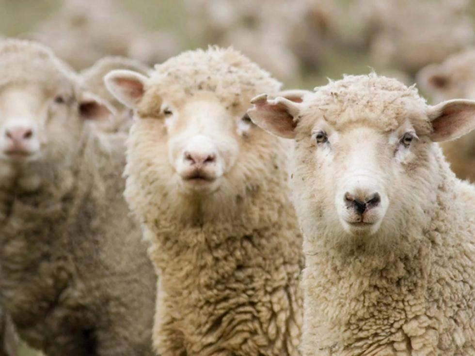 Разведение овец – кормление и содержание на частных фермах
