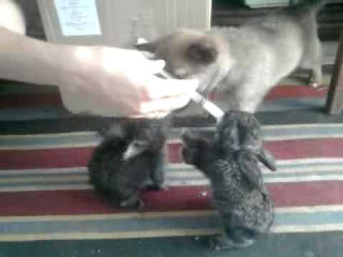 Новорождённые крольчата: уход за кроликами и крольчихой