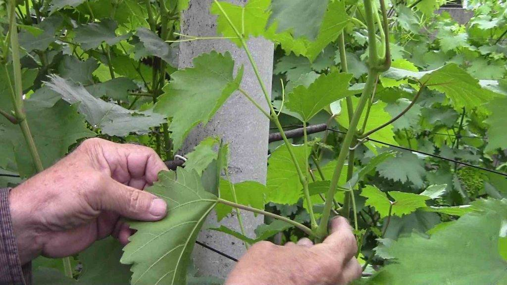 Обломка зеленых побегов на кустах винограда