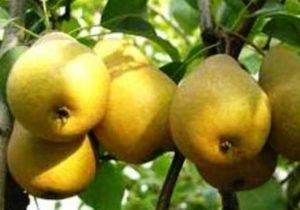 Зимостойкие сорта груш для выращивания в сибири