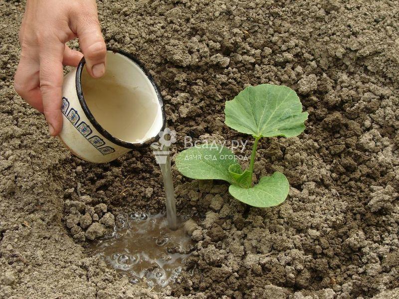 Чем подкормить тыкву в открытом грунте, чтобы она хорошо росла