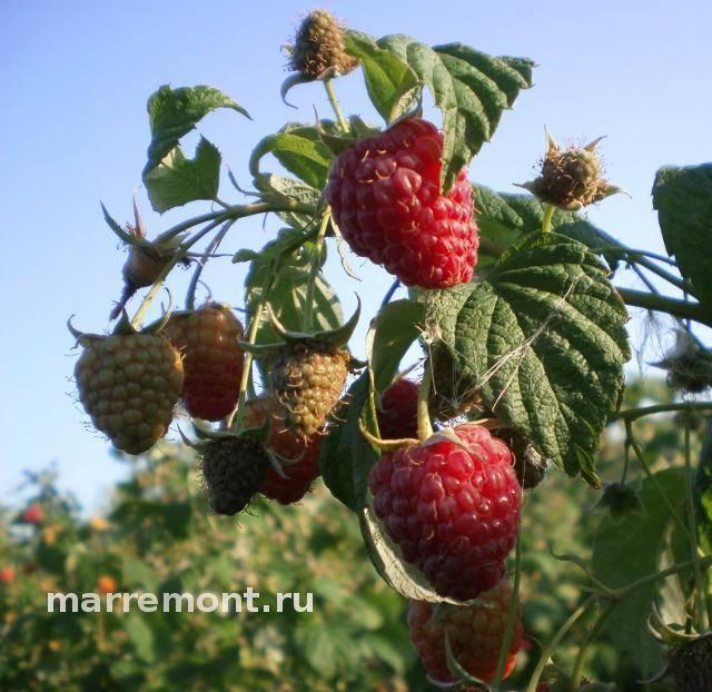 Сладкая ягода малина до заморозков - ремонтантная малина - ягодные культуры - смолдача - портал дачников, садоводов и любителей загородной жизни