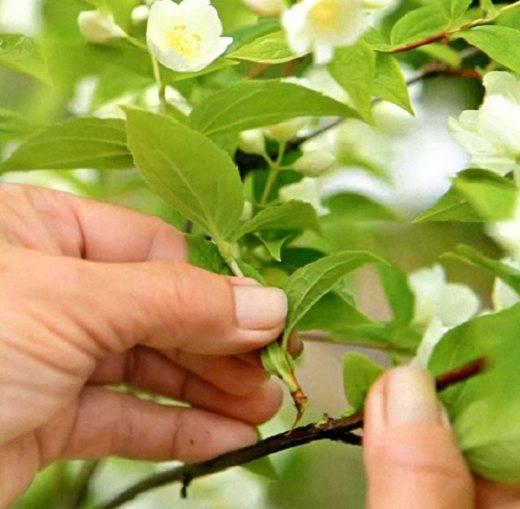 Жасмин выращивание и уход в саду. принципы черенкования жасмина