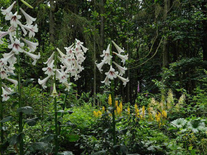 Сорт лилии претти вумен — требования к выращиванию, фото и отзывы садоводов