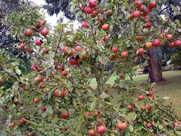 Яблони низкорослые, на карликовом подвое — высота и плодоношение, 11 лучших сортов