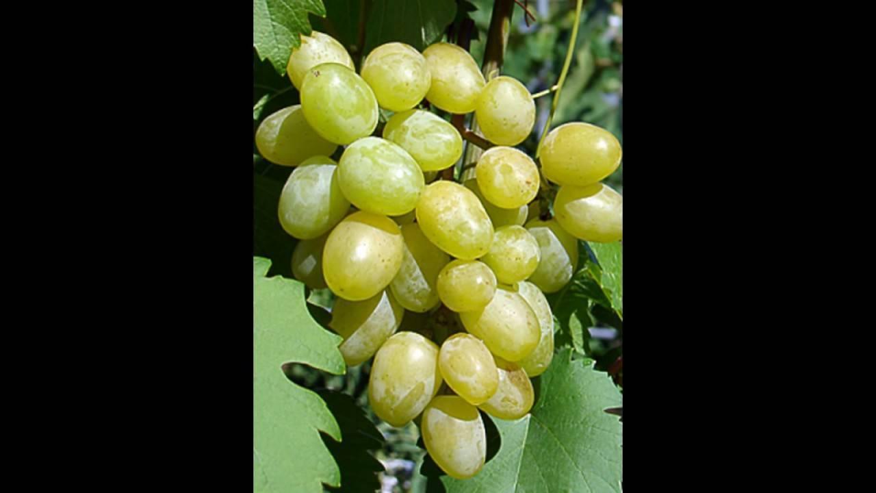 Опасаетесь суровых зим — посадите виноград «муромец»