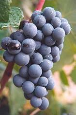 Испанский винный сорт «темпранильо» с ароматом малины и ванили
