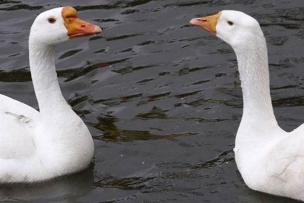 Как отличить гусака от гусыни? 38 фото как определить пол по внешним признакам? как различить взрослых гуся и гуску? основные отличия самки от самцы