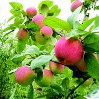 Лучшая зимняя яблоня краса свердловска