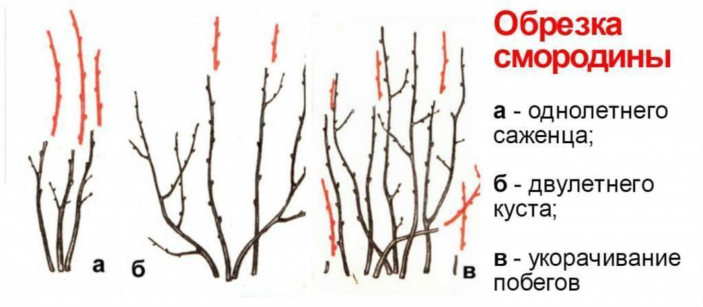 Как обрезать смородину весной - обрезка красной, белой, черной для начинающих