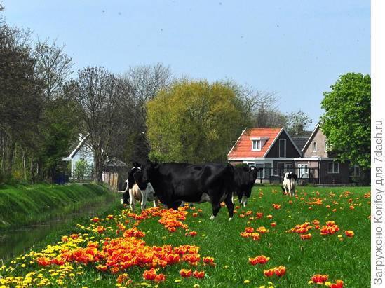Корова: породы, внешний вид, рацион питания и особенности разведения крупного рогатого скота (110 фото)