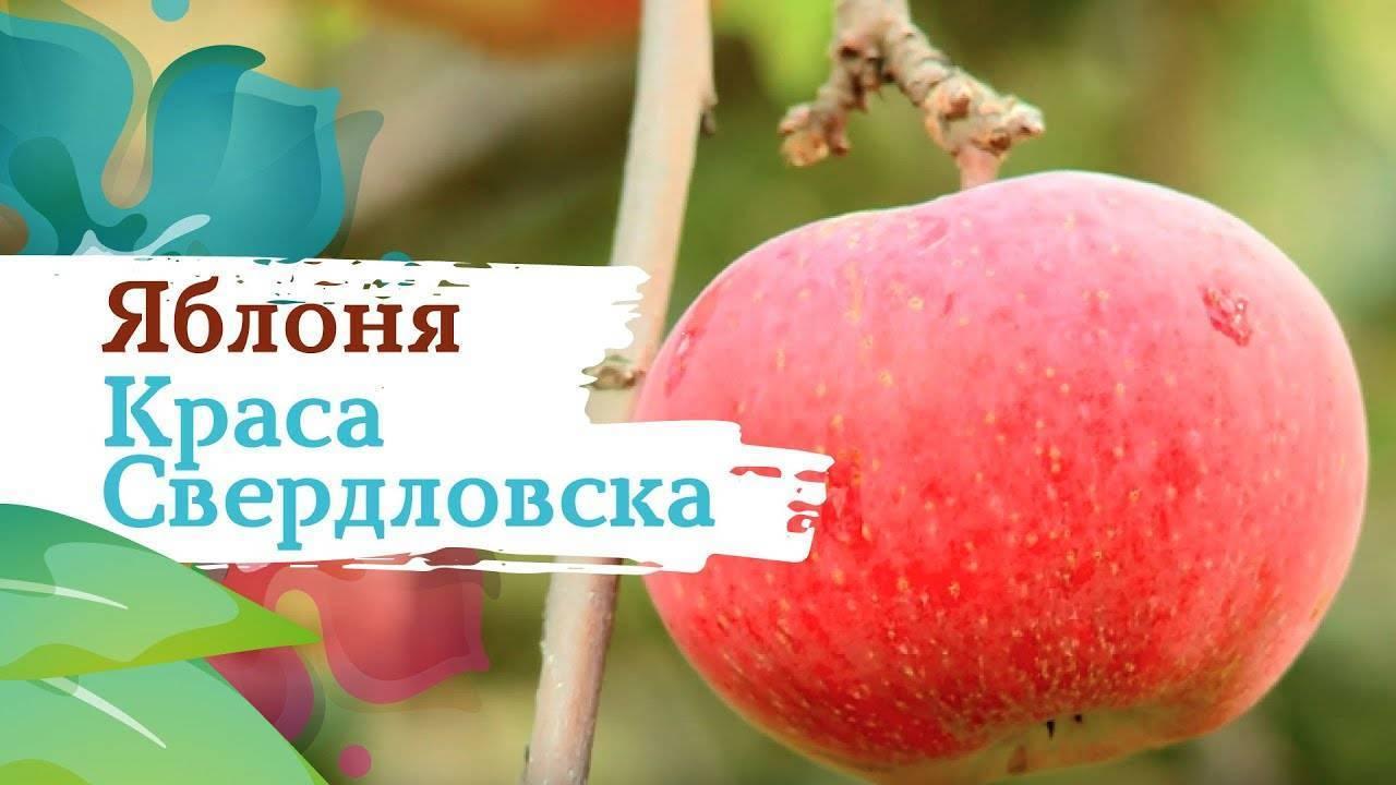Сорт яблок краса свердловска: описание и характеристики, особенности выращивания и ухода за деревьями, болезни и вредители