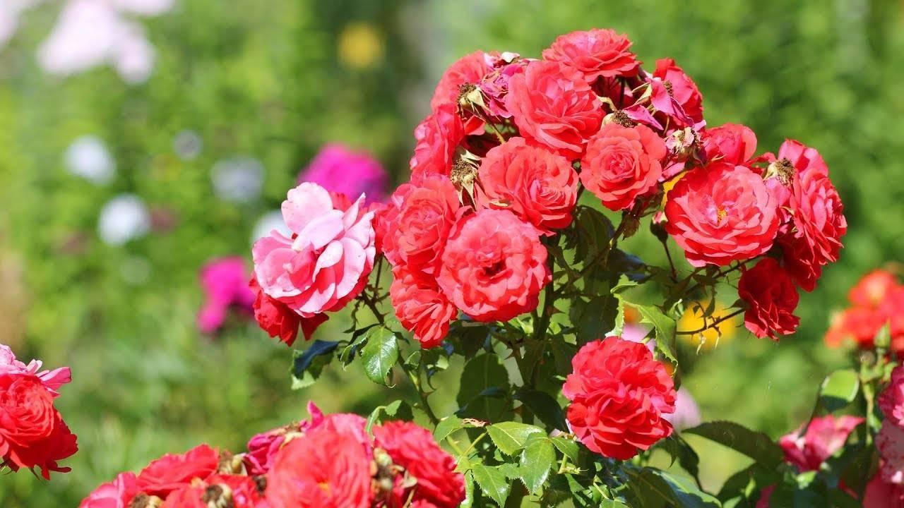 Роза флорибунда – сорта, посадка, выращивание и уход