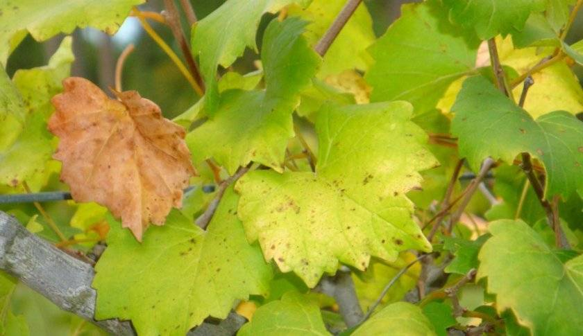 Болезнь хлороз: лечение и фото, борьба на винограде, малине, гортензии и петунии