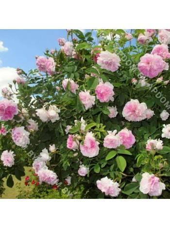 Особенности выращивания чайно-гибридной розы блаш: что это за сорт, как ухаживать