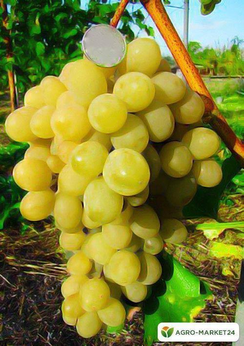 Сорт винограда супер экстра: описание и обрезка