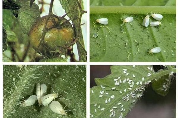 Белокрылка на рассаде: эффективные методы борьбы