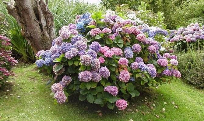 Подкормка гортензий метельчатых: чем подкормить в июне и в июле? как правильно подкармливать весной и летом для пышного цветения?