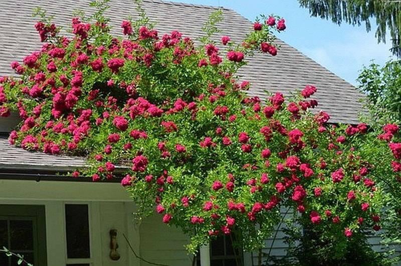 Выбираем плетистую розу