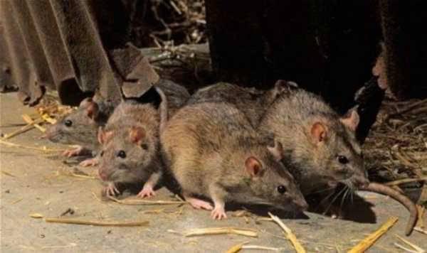Как бороться с крысами в курятнике?