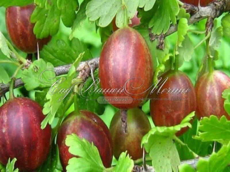 Крыжовник финик: описание сорта, особенности выращивания, отзывы