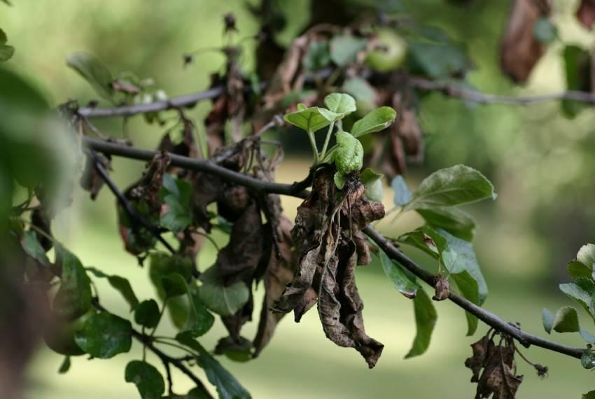 Бактериальный ожог груши: современные методы лечения, профилактика и советы по выбору препаратов