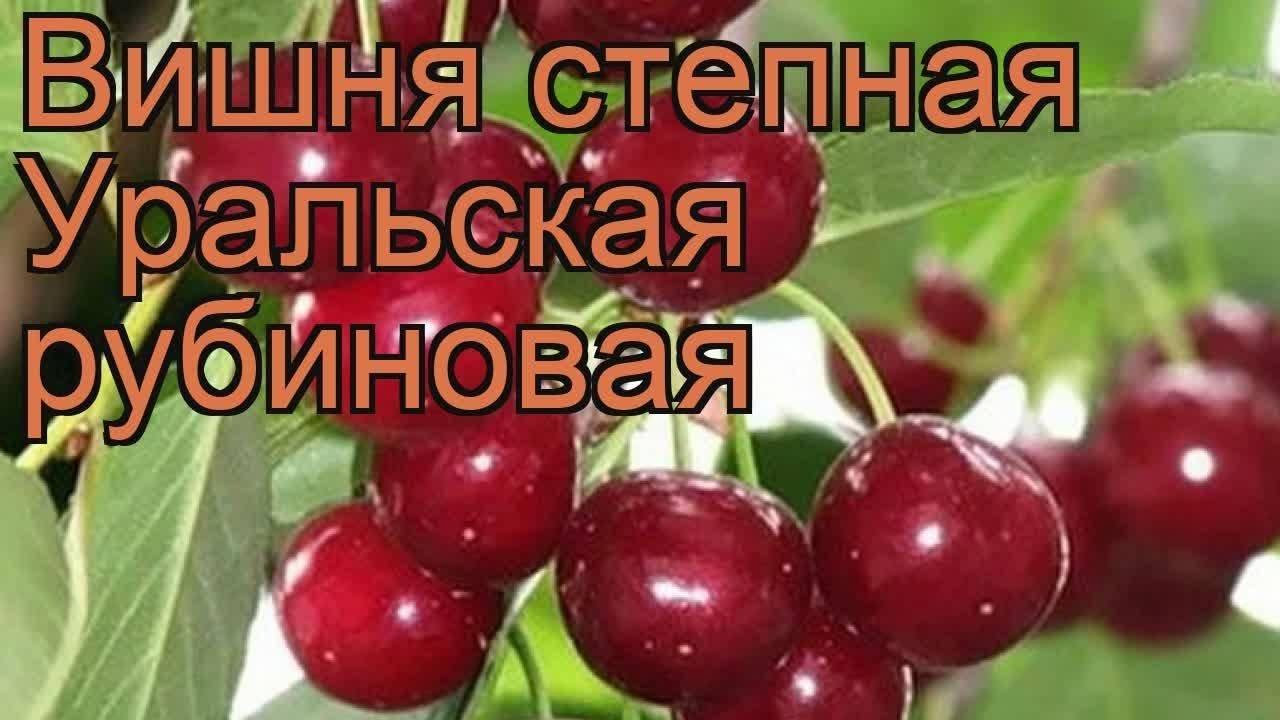 Описание вишни сорта «уральская рубиновая»: характеристики, фото, видео, отзывы